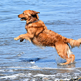 Going for a Dip in the Ocean by Christine McEwan - Animals - Dogs Playing ( playing, water, jumping, leaping, sea, ocean, beach, surf, dog, golden retriever )