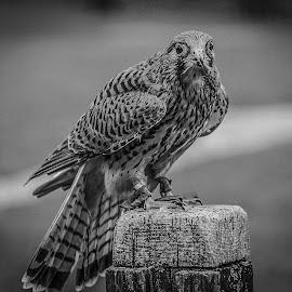 ICBP Kestrel by Garry Chisholm - Black & White Animals ( bird, garry chisholm, nature, wildlife, prey, raptor )