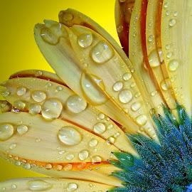 Drops on petal by Asif Bora - Nature Up Close Natural Waterdrops