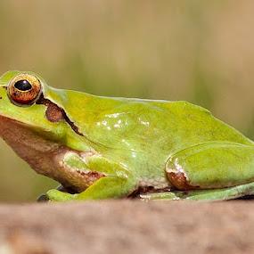 by Booba Booba - Animals Amphibians ( frog, animal )