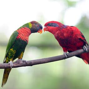 Parrot by Syafizul  Abdullah - Animals Birds