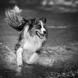 Dog | Hund (Australian Shepherd) by Franz Engels - Black & White Animals ( expression, lebendig, animals, dogs, animal photography, black and white, schwarzweiss, wirbeltiere (vertebrata), tiere, vibrant, australian shepherd, hunde (canidae), echte hunde (canini), hundeartige (canoidea), revision bewertung 2013, haushund (canis lupus familiaris), säugetiere (mammalia), action, tierfotografie, rauptiere (carnivora), höhere säugetiere (eutheria) )