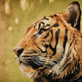 by Manuela Dedić - Animals Lions, Tigers & Big Cats