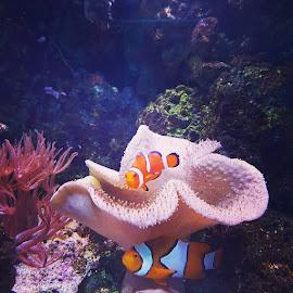 Nemo by Daz Yates - Animals Fish