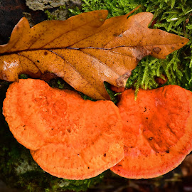 Contrasts by Marco Bertamé - Nature Up Close Mushrooms & Fungi ( mushroom, red, autumn, green, fall, moss, brown, leaf )
