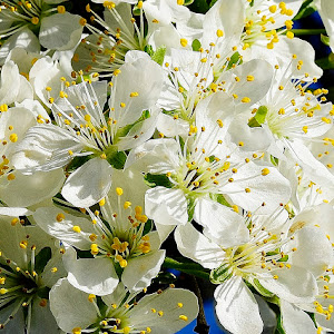 Blossoms with water drops 192.JPG