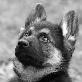 Cute GSD Pup by Chrissie Barrow - Black & White Animals ( monochrome, black and white, pet, fur, ears, puppy, greys, german shepherd, dog, mono, nose, portrait, eyes, animal )