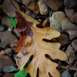 Single Leaf by Rhonda Kay - Nature Up Close Leaves & Grasses (  )