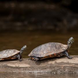 Big & Little Red Cooters by Tig Tillinghast - Animals Amphibians