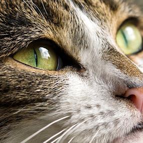Lizard eyes by Kain Dear - Animals - Cats Portraits ( macro, cat, kitten, green, fur, cute, eye, close )