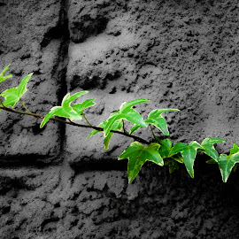 Clinging Vine by Rachael Anderson - Nature Up Close Other plants ( plant, black and white, green, vine, rock, wall )