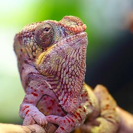 Mon ami le caméléon by Gérard CHATENET - Animals Reptiles