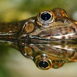 Reflet by Gérard CHATENET - Animals Amphibians