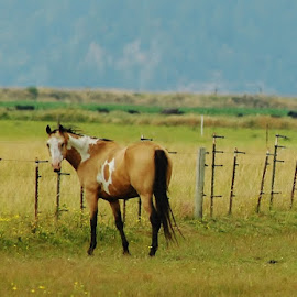 Paint in a Field by Christine McEwan - Animals Horses ( chuckanut mountain, horses, horse, paint, skagit county, portrait, livestock, country, field, farm, fence, washington, farms, bow hill )