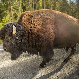 Buffalo by Sergey Sibirtsev - Animals Other ( buffalo, national park, yellowstone, bison, bison bison, walk,  )