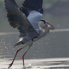 Grey Heron with Catch by Gayatri Pimple - Animals Birds ( prey, herons, bird photos, fishing, birds, birding, water fowl, waterfowl, bird in flight, bird photography, bird, hunter, hunting, heron, wildlife )