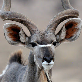 Kudu at K.T.P. in Botswana. by Lorraine Bettex - Animals Other Mammals