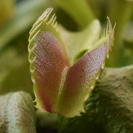 Venus Fly Trap by Jamie Ledwith - Nature Up Close Other plants ( nature, triggers, close up, flower, venus fly trap )