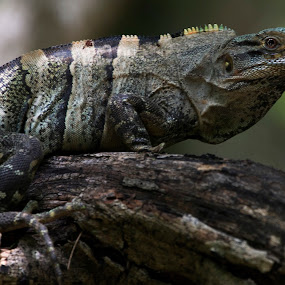 Iguana by Cristobal Garciaferro Rubio - Animals Other ( cancun, mexico, iguana, branch, branches )