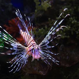Lion Fish by Yanti Hadiwijono - Animals Fish