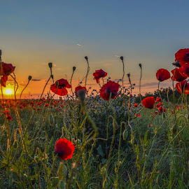 Изгрев сред маковете by Galq Fo-teva - Flowers Flowers in the Wild