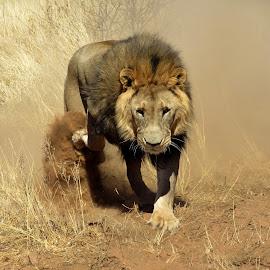 Nervous lion by Nico Kranenburg - Novices Only Wildlife ( lion, nervous, wildlife, namibie, dangerous )