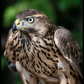 Bird of Prey by Beeback AlterEgo Biba - Animals Birds ( bird, animals, eagle, pwctaggedbirds, buzzard, birds, closeup )