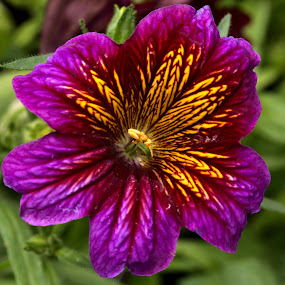 by Cal Brown - Flowers Single Flower ( purple, single flower, petunia, new york, summertime, summer flower, flower, garden flower,  )