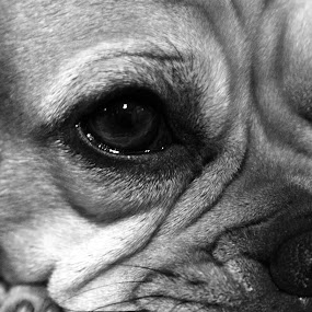 by Dave Martin - Animals - Dogs Puppies ( puppy head shot, puggle, puggle puppy, puppy close up portrait, dog,  )