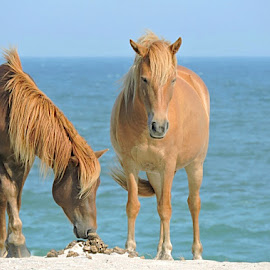 Assateague Island  by Travis Houston - Animals Horses