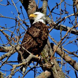Wind Blown Eagle by Howard Sharper - Animals Birds ( wetlands, outdoor photography, nesting, wildlife, eagles )