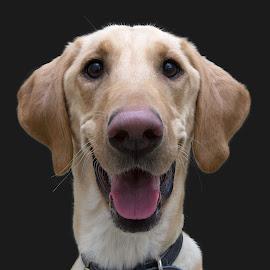 Max - A Shelter Dog by Ginger Wlasuk - Animals - Dogs Portraits ( labrador retriever, shelter, shelter dog, dog, lab )