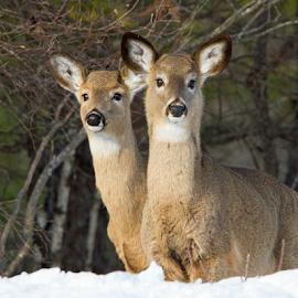 What? by Lloyd Alexander - Animals Other Mammals ( wild, free, lloyd alexander, winter, nature, wildlife, cute, natural, deer )