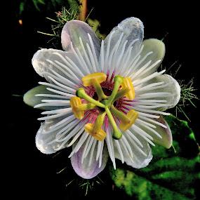 Hedge flower by Govindarajan Raghavan - Flowers Flowers in the Wild (  )