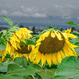 sunflowers in the rain by Michelle Meenawong - Nature Up Close Gardens & Produce