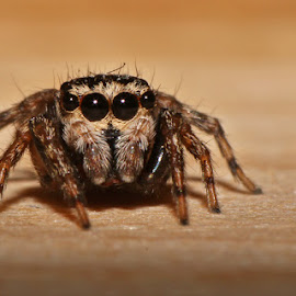 Jumping Spider by David Knox-Whitehead - Animals Insects & Spiders ( reverse-mounted lens, macro, wood, spider, eyes )