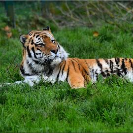 tiger by Nic Scott - Animals Lions, Tigers & Big Cats ( tiger,  )