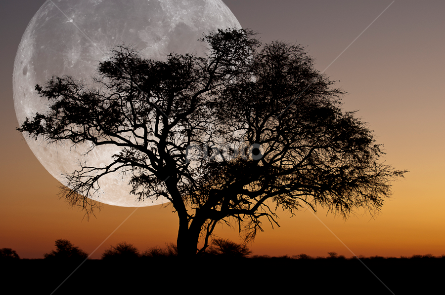 moonrise..... ? by Anneke Reiss - Digital Art Places ( orange, sillhouette, moon, sky, tree, rise, africa, moonrise )