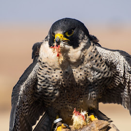 Peregrine Falcon enjoying a little lunch by Warren Hanna - Novices Only Wildlife ( bird of prey, south africa, dullstroom, lunch, peregrine falcon )