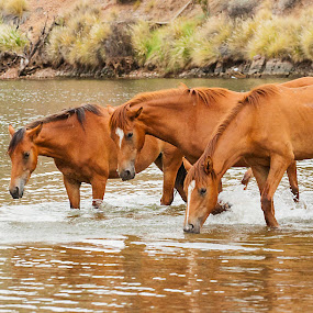 Brown Family at the River by Ruth Jolly - Animals Horses ( wild horse, nature, horse, wildlife, mammal, salt river wild horses )