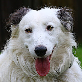 Fluffy Boy by Chrissie Barrow - Animals - Dogs Portraits ( tongue, long haired, pet, white, fur, ears, grey, dog, nose, lurcher, black, portrait, eyes,  )