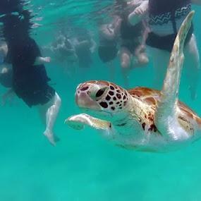 Sea Turtle  by Bill Bettilyon - Animals Sea Creatures ( barbados, sea turtle, reptile, turtle )