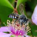 Cuckoo-leaf-cutter Bee; Abeja cuco