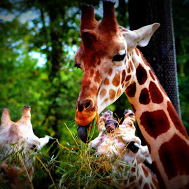 Feeding Time by Pamm Smith - Animals Other ( giraffe, majestic animals, nature up close, zoo animals, long necks )
