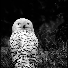 Snowy Owl by Dave Lipchen - Black & White Animals ( snowy owl )
