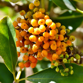 Golden fruit by Adell du Plessis - Nature Up Close Other plants ( plant, tree, green, leaves, berries )