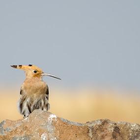 Hoopoe... Stop by Mahesh Shenoy - Animals Birds ( bird, stop, bus, stand, hoopoe, rock, wait )