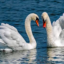 by Ioannis Alexander - Animals Birds ( swan,  )