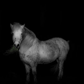 Snow white by Joel Hast - Animals Horses ( mare, icelandic horse, horse, white, female horse, spot colour,  )