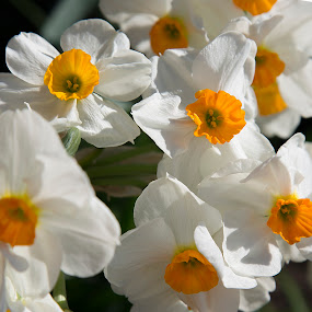 Geranium Daffodils Greenback, TN by Tiffany Lett - Nature Up Close Flowers - 2011-2013